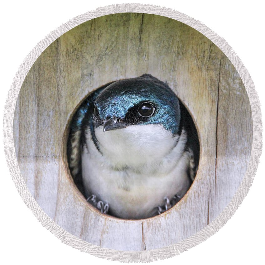 Tree Swallow Round Beach Towel featuring the photograph Tree Swallow In Nest Box by Jennie Marie Schell