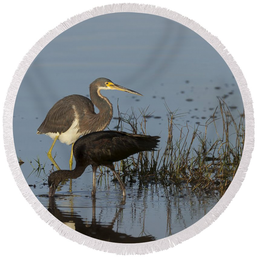 Tri-colored Round Beach Towel featuring the photograph Tri-colored Heron And Glossy Ibis by David Watkins