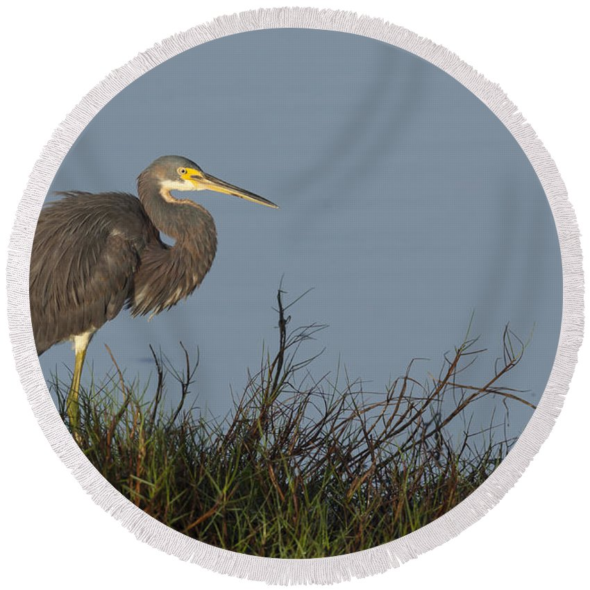 Tri-colored Round Beach Towel featuring the photograph Tri-colored Heron In The Morning Light by David Watkins