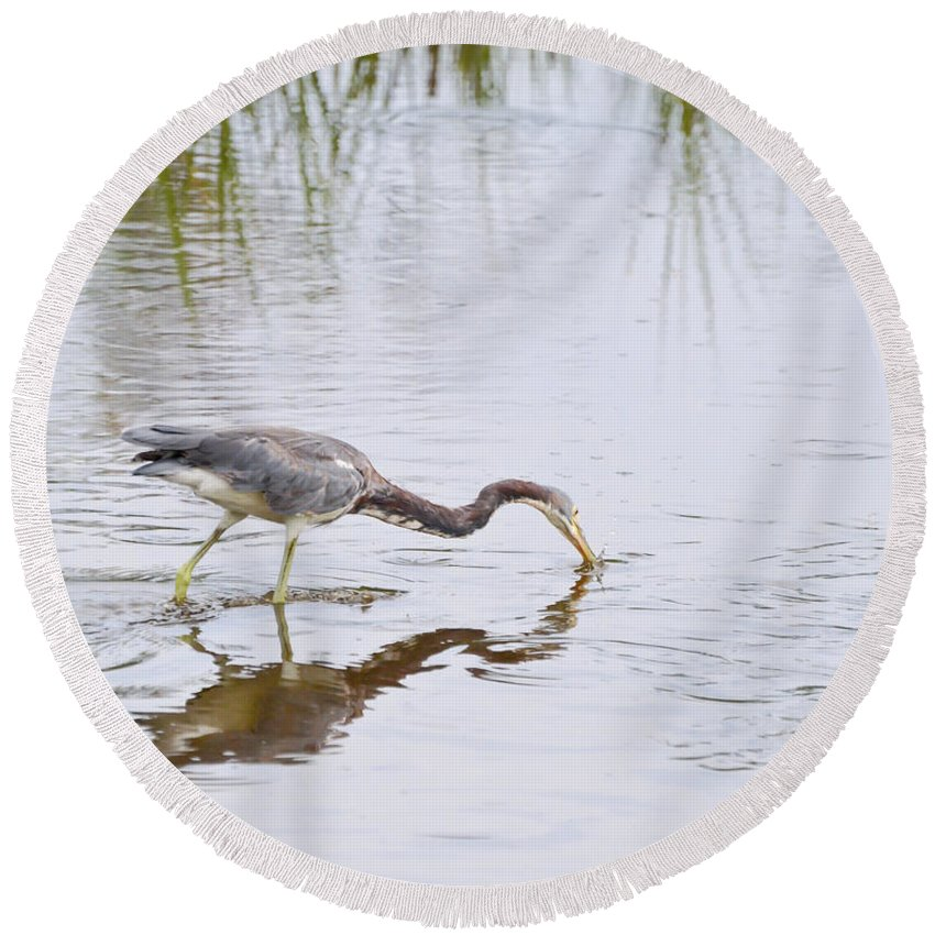 Birds Round Beach Towel featuring the photograph Tricolored Heron Grabs A Bite by Kerri Farley
