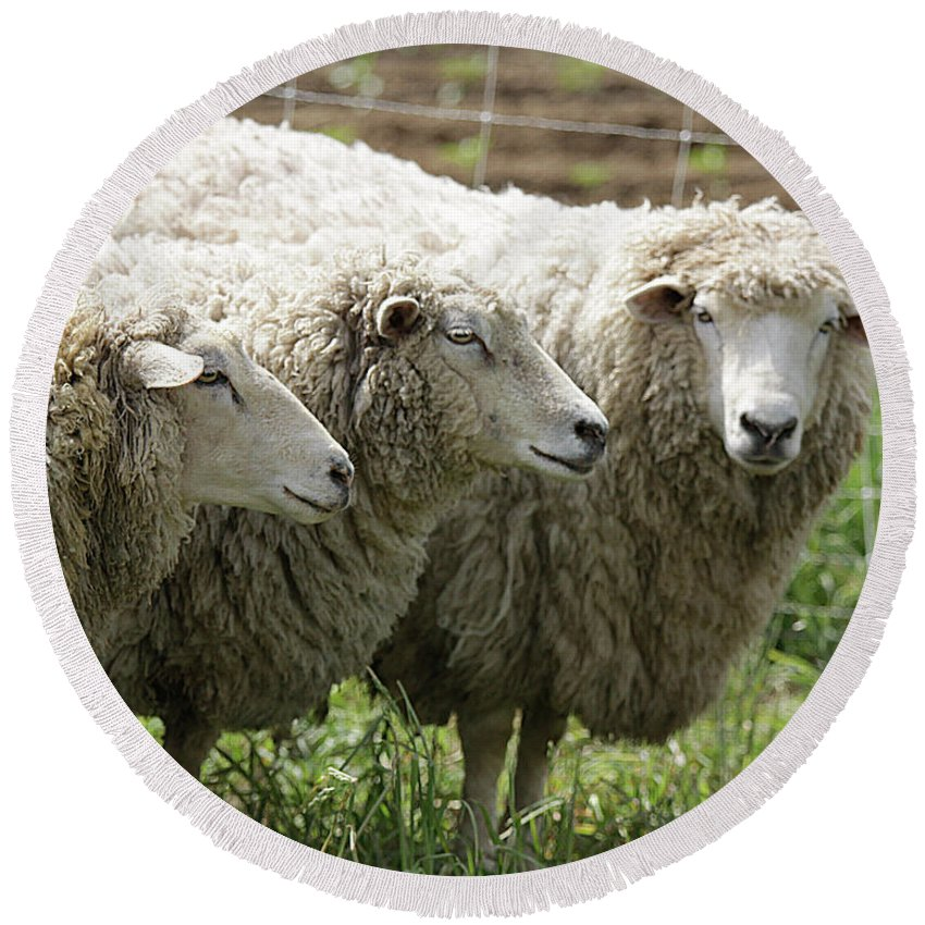 Sheep Round Beach Towel featuring the photograph Trio by Jean Macaluso