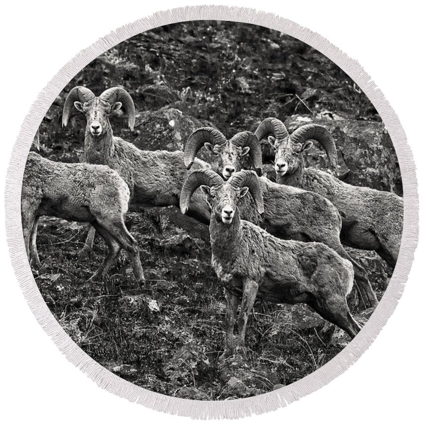 Trophy Rams Round Beach Towel featuring the photograph Trophy Rams by Wes and Dotty Weber