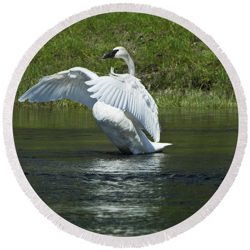 Yellowstone Round Beach Towel featuring the photograph Trumpeter Swan On The Madison River by Sandra Bronstein