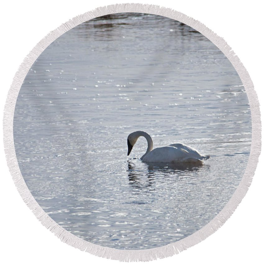 Bird Round Beach Towel featuring the photograph Trumpeter Swan Yellowstone by Cindy Murphy - NightVisions