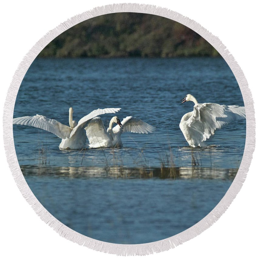Swan Round Beach Towel featuring the photograph Trumpeter Swans 9771 by Michael Peychich