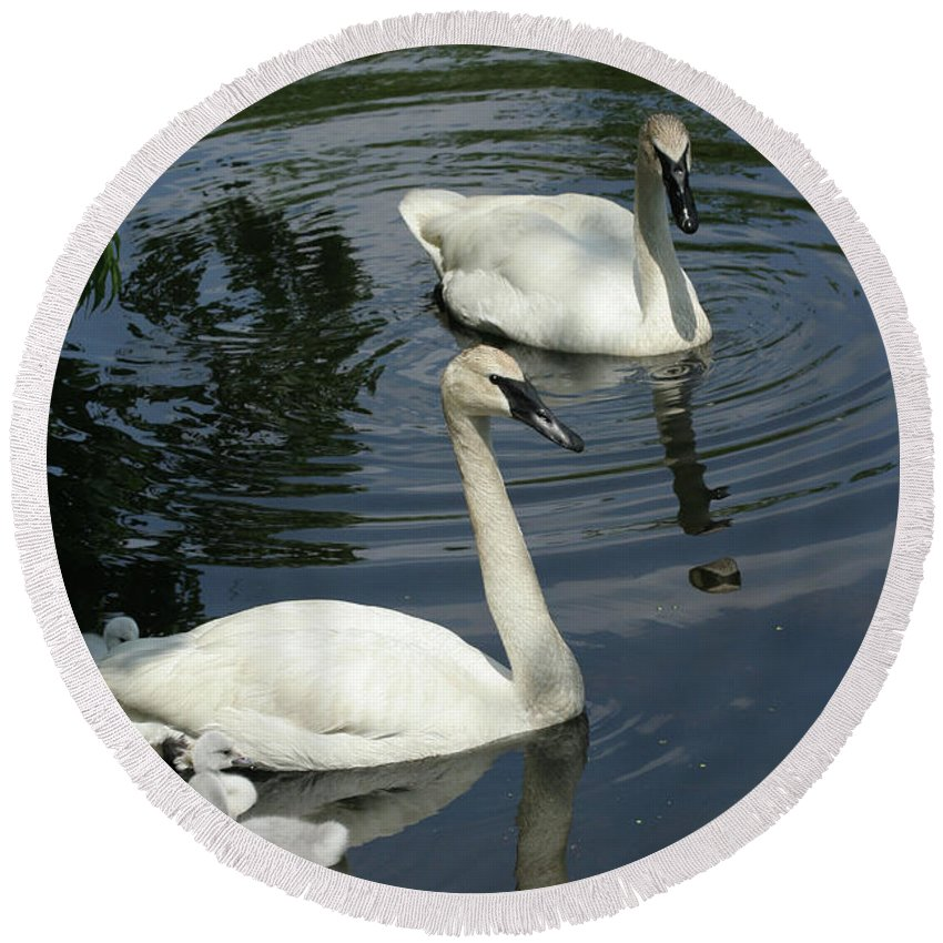 Trumpeter Swans Round Beach Towel featuring the photograph Trumpeter Swans by Judy Whitton