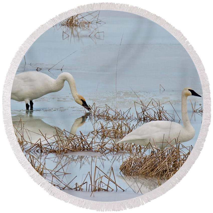 Winter Round Beach Towel featuring the photograph Trumpter Swans 8182 by Michael Peychich