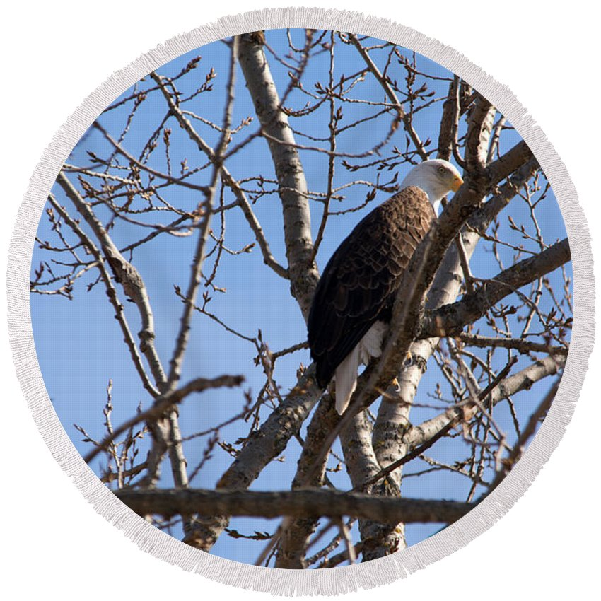 Bald Eagle Round Beach Towel featuring the photograph Tucked In by Linda Kerkau