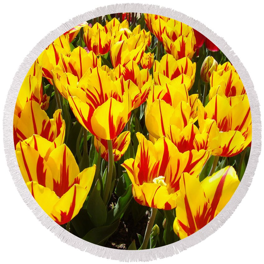 Tulip Round Beach Towel featuring the photograph Tulip Flowers Festival Yellow Red Art Prints Tulips by Baslee Troutman