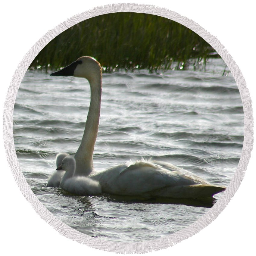 Swans Round Beach Towel featuring the photograph Tundra Swan And Signets by Anthony Jones