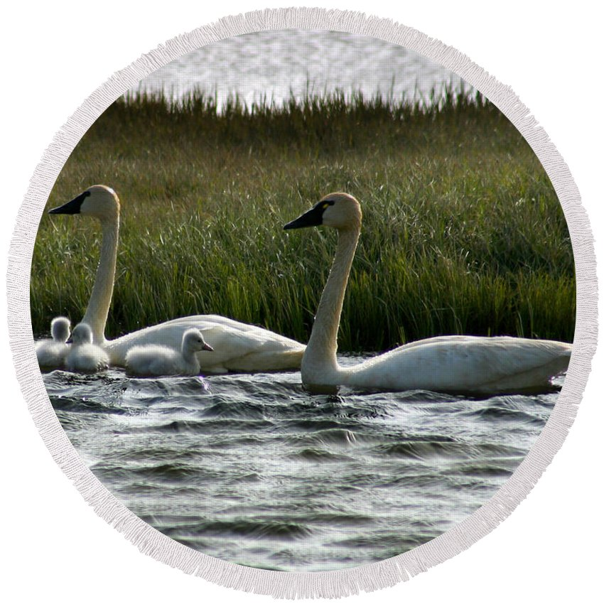 Swans Round Beach Towel featuring the photograph Tundra Swans And Cygents by Anthony Jones