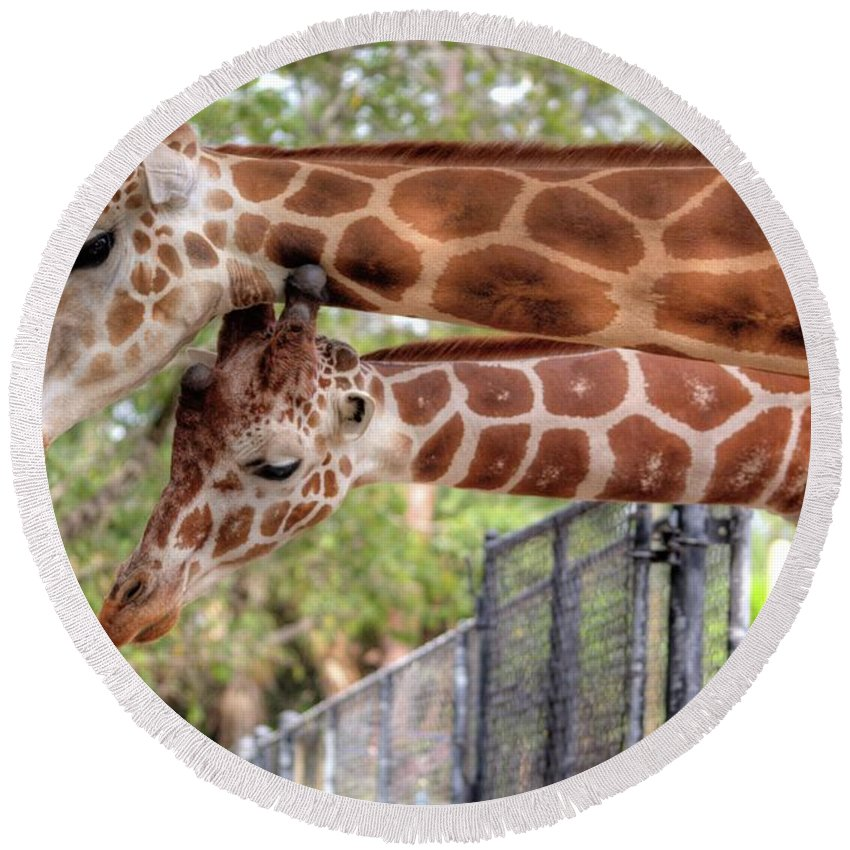 Giraffe Round Beach Towel featuring the photograph Two Giraffes by Jim Allsopp