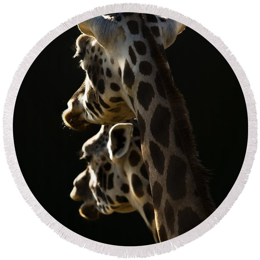 Giraffe Round Beach Towel featuring the photograph Two Headed Giraffe by Angel Ciesniarska