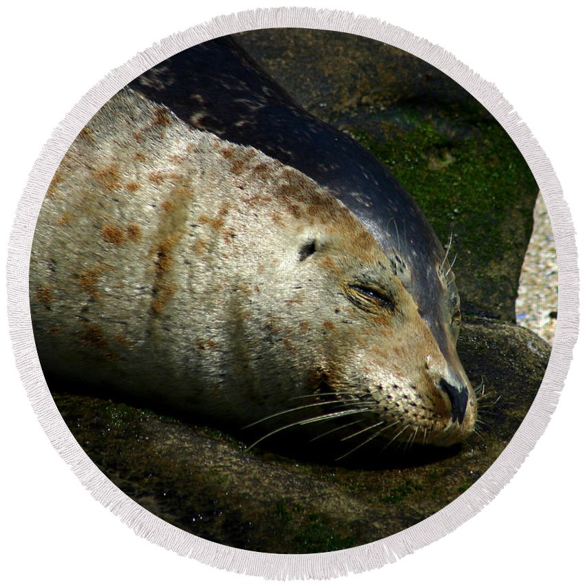 Seal Round Beach Towel featuring the photograph Two Tone Seal by Anthony Jones