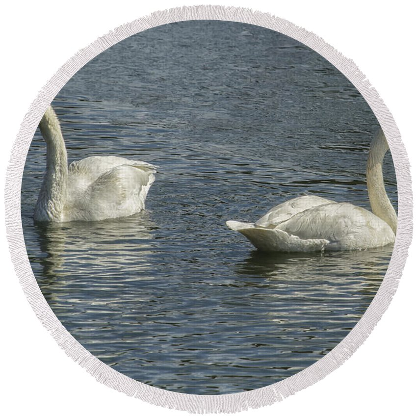 Trumpeter Swan Round Beach Towel featuring the photograph Two Trumpeter Swans At Oxbow Bend by Belinda Greb