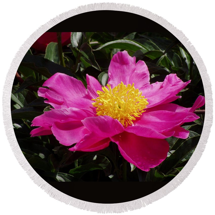 Rose Round Beach Towel featuring the photograph Unfolding by Ian MacDonald