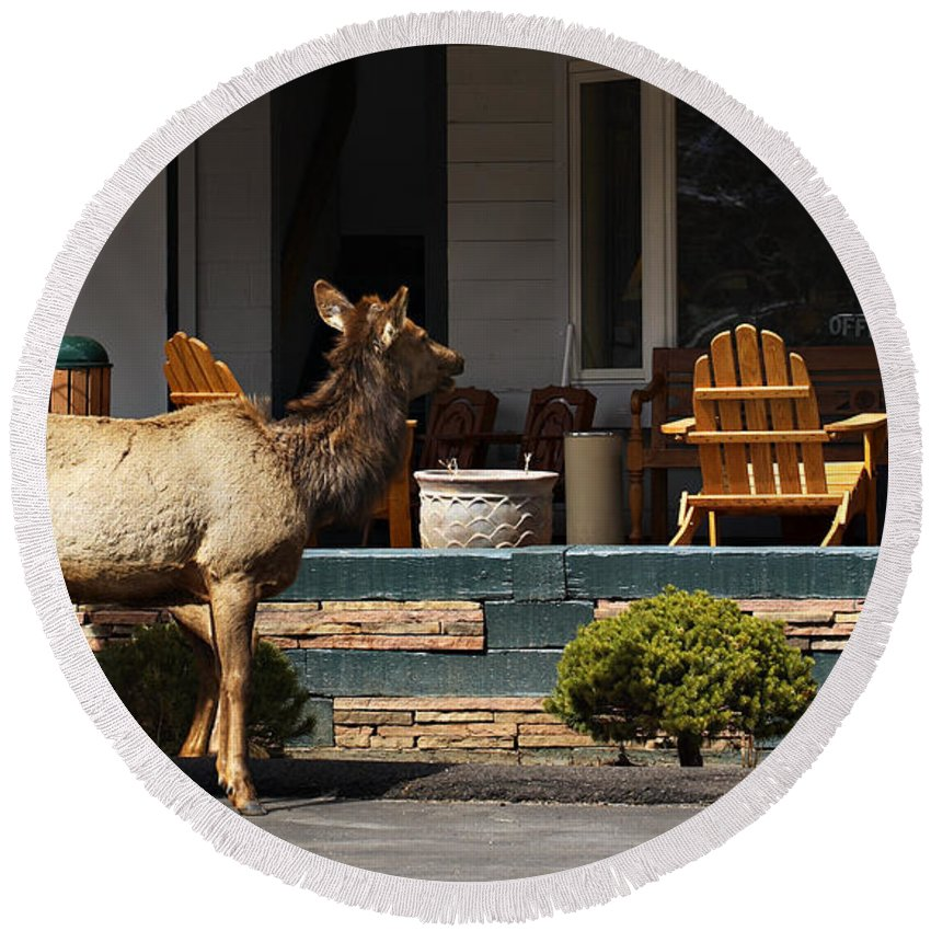 Elk Round Beach Towel featuring the photograph Urban Elk by Marilyn Hunt