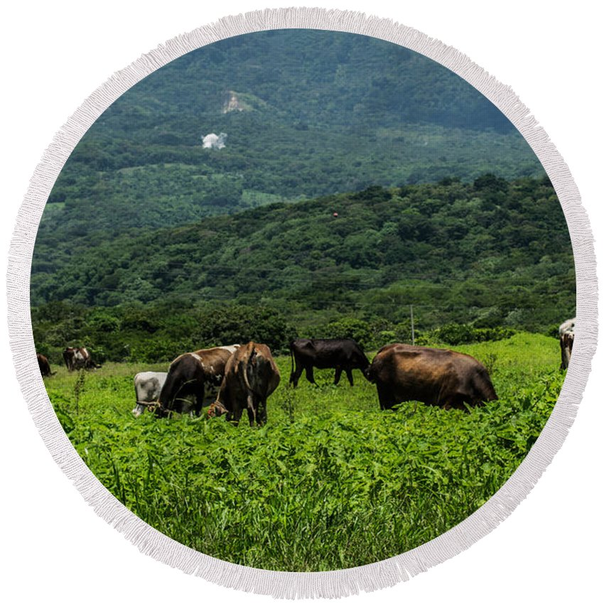 Cows Round Beach Towel featuring the photograph Vacas De Ahuachapan by Totto Ponce
