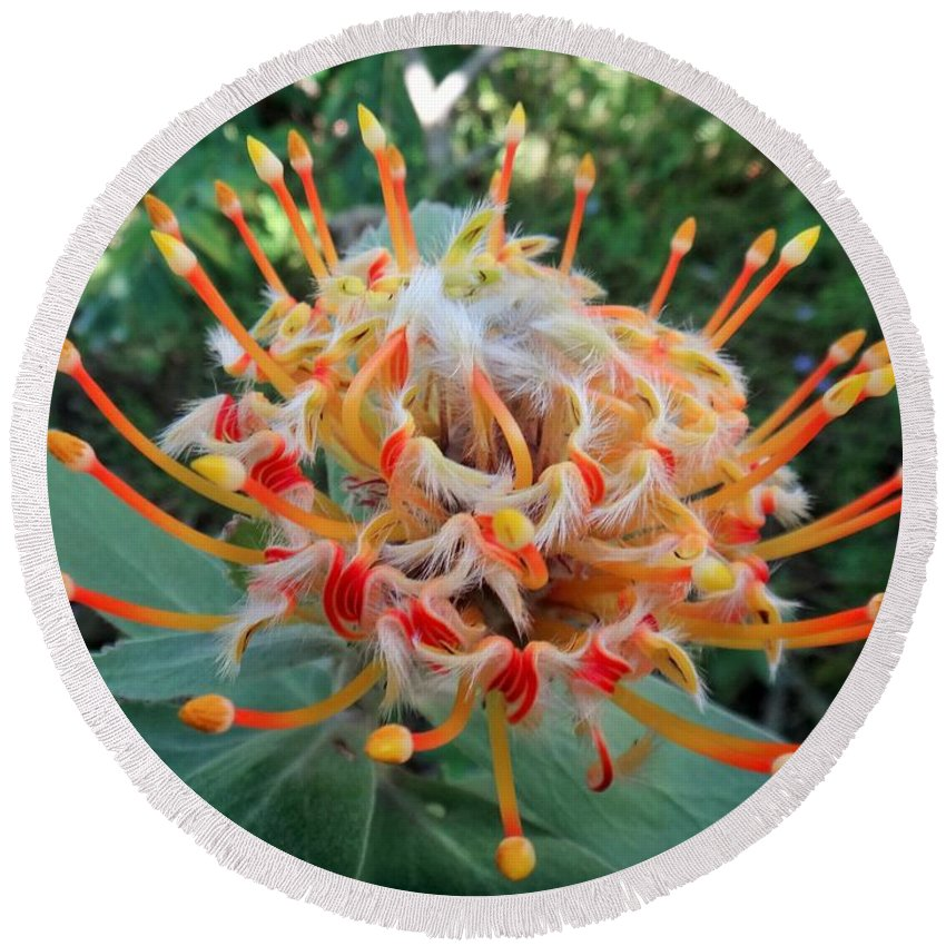 Veldfire Round Beach Towel featuring the photograph Veldfire Protea by Two Small Potatoes