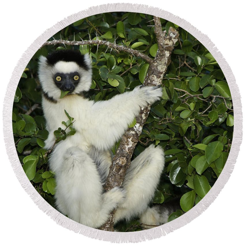 Madagascar Round Beach Towel featuring the photograph Verreaux's Sifaka by Michele Burgess