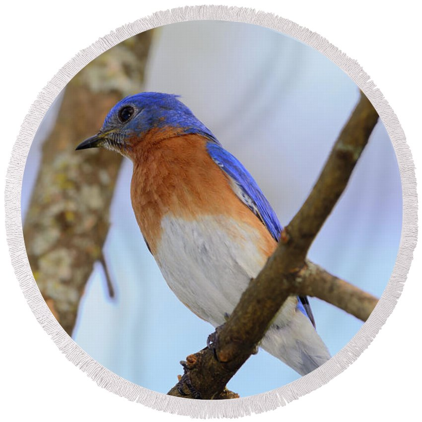 Background Round Beach Towel featuring the photograph Very Bright Young Eastern Bluebird Perched On A Branch Colorful by Jeff Jarrett