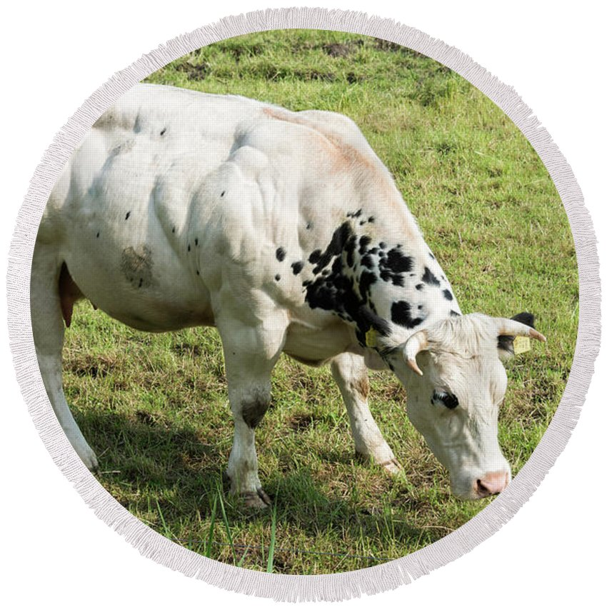 Muscled Round Beach Towel featuring the photograph Very Muscled Cow In Green Field by Compuinfoto