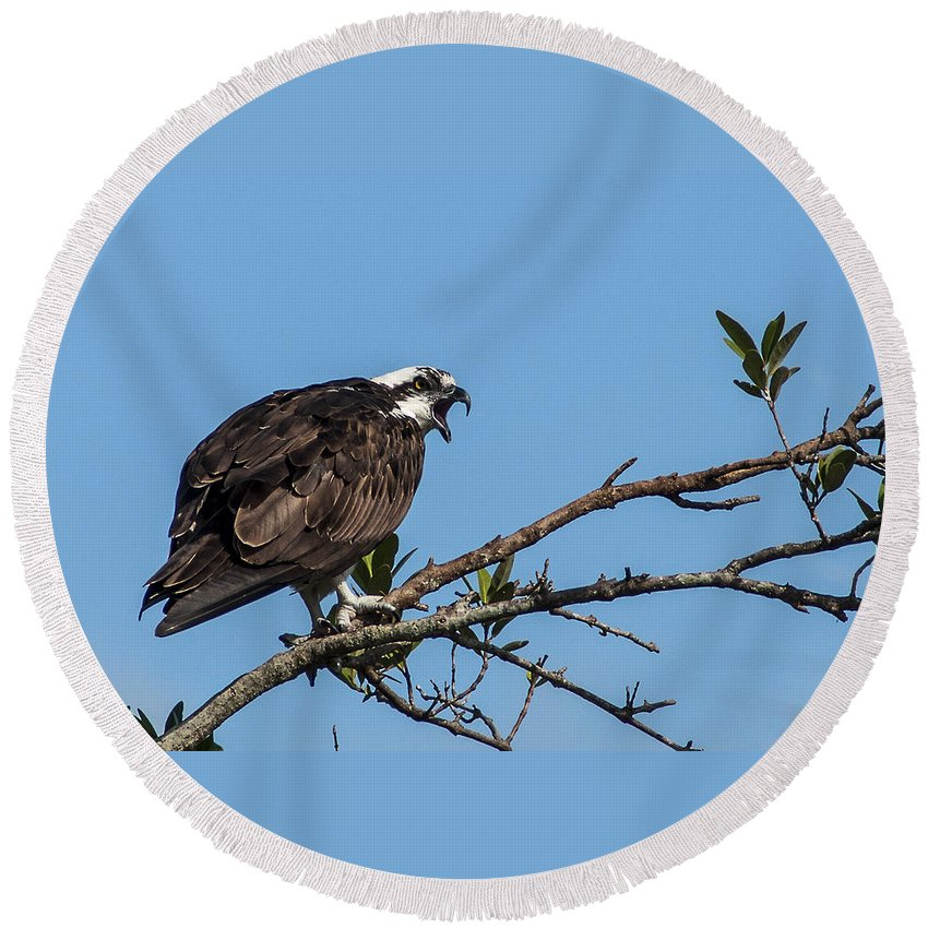 Osprey Round Beach Towel featuring the photograph Vocal Plea by Norman Johnson