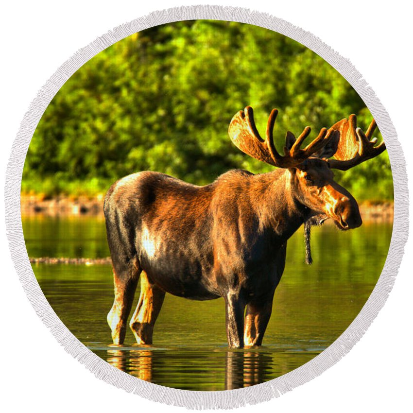 Moose Round Beach Towel featuring the photograph Wading For Breakfast by Adam Jewell