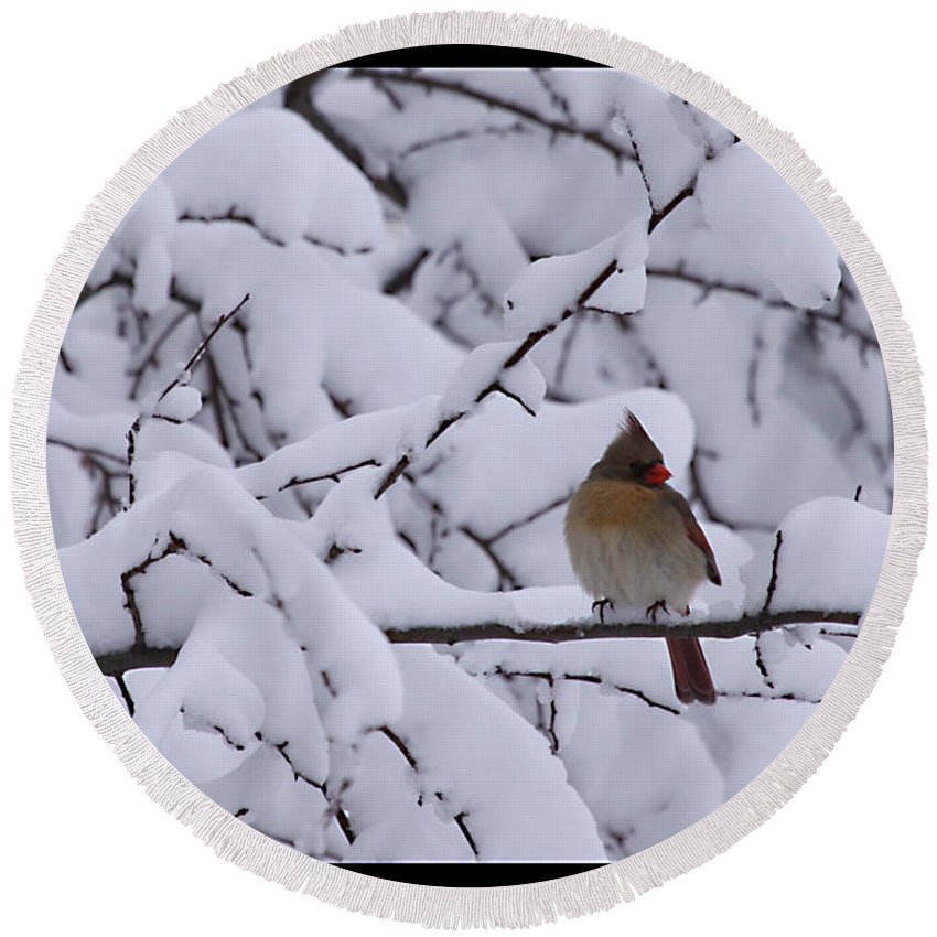 Female Cardinal Bird Wildlife Snow Season Winter Photograph Photographer Round Beach Towel featuring the photograph Waiting For Mr. C by Shari Jardina