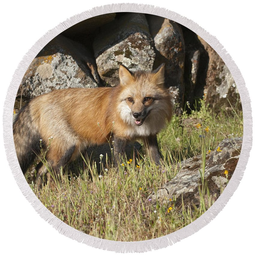 Red Fox Round Beach Towel featuring the photograph Wary Red Fox by Sandra Bronstein