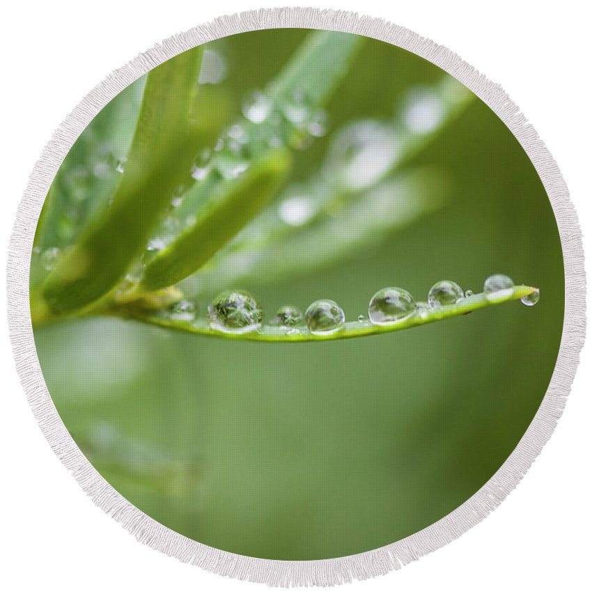 Water Round Beach Towel featuring the photograph Water Droplets On Evergreen by Susan Schmidt