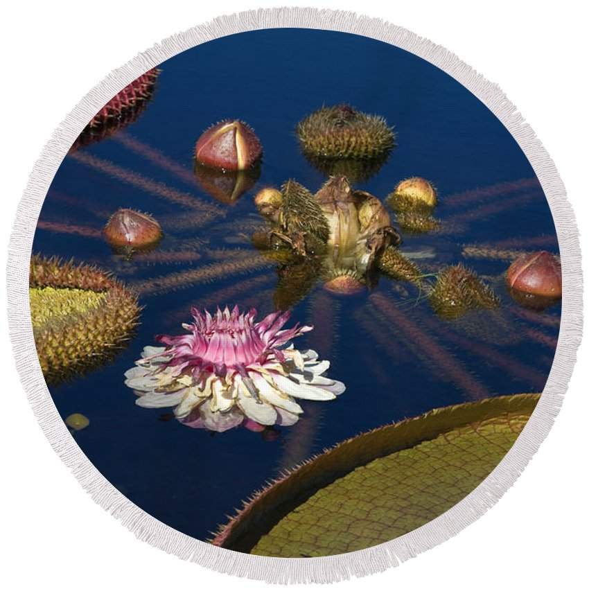 Water Lily Round Beach Towel featuring the photograph Water Lily And Platters by Sally Weigand