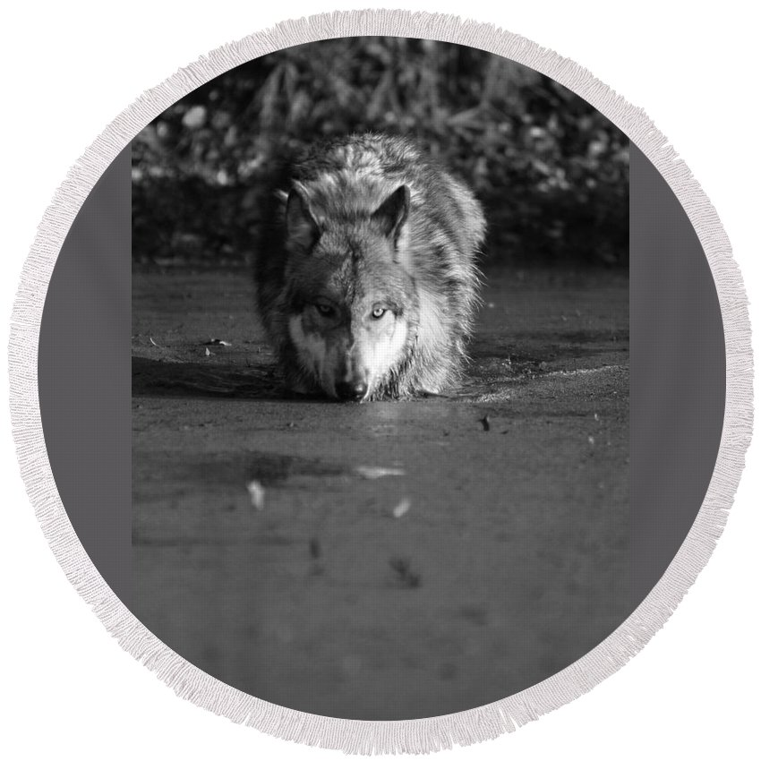 Wolf Wolves Lupine Canis Lupis Animal Wildlife Photograph Photography Round Beach Towel featuring the photograph Water Wolf I by Shari Jardina