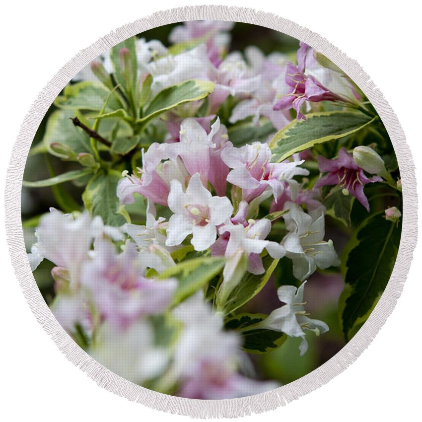Variegated Round Beach Towel featuring the photograph Weigela by Sandy Swanson