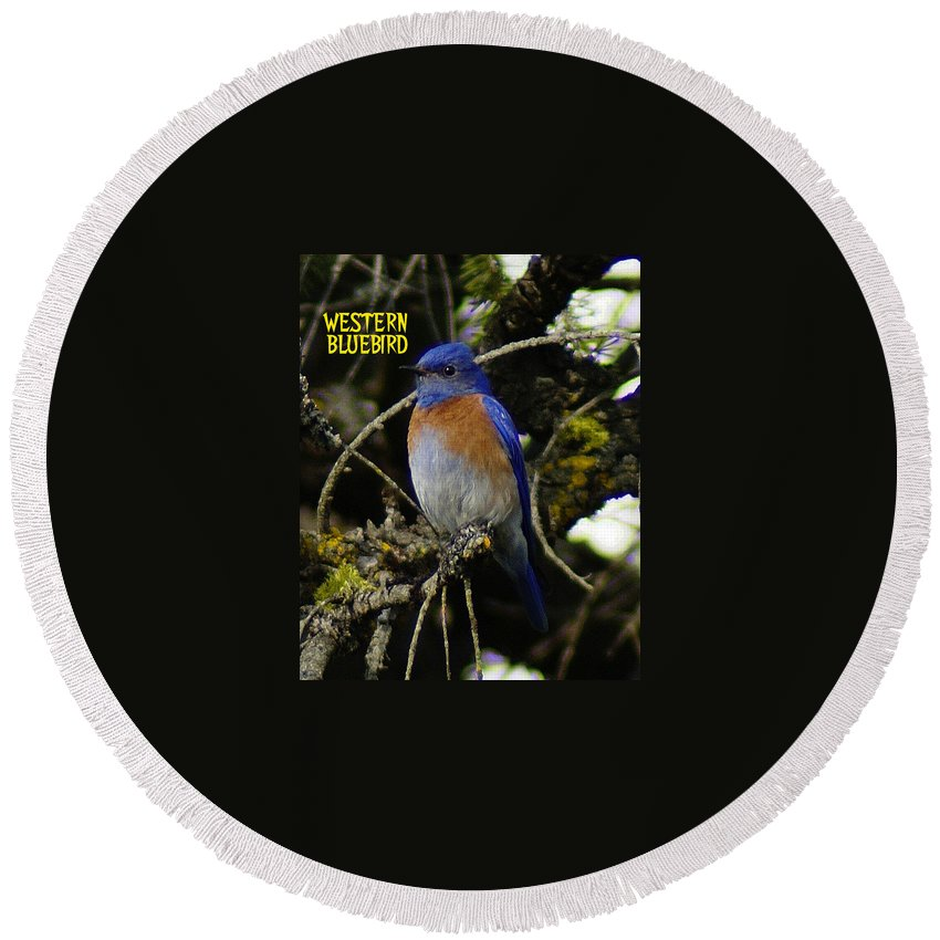 Birds Round Beach Towel featuring the photograph Western Bluebird by Ben Upham III