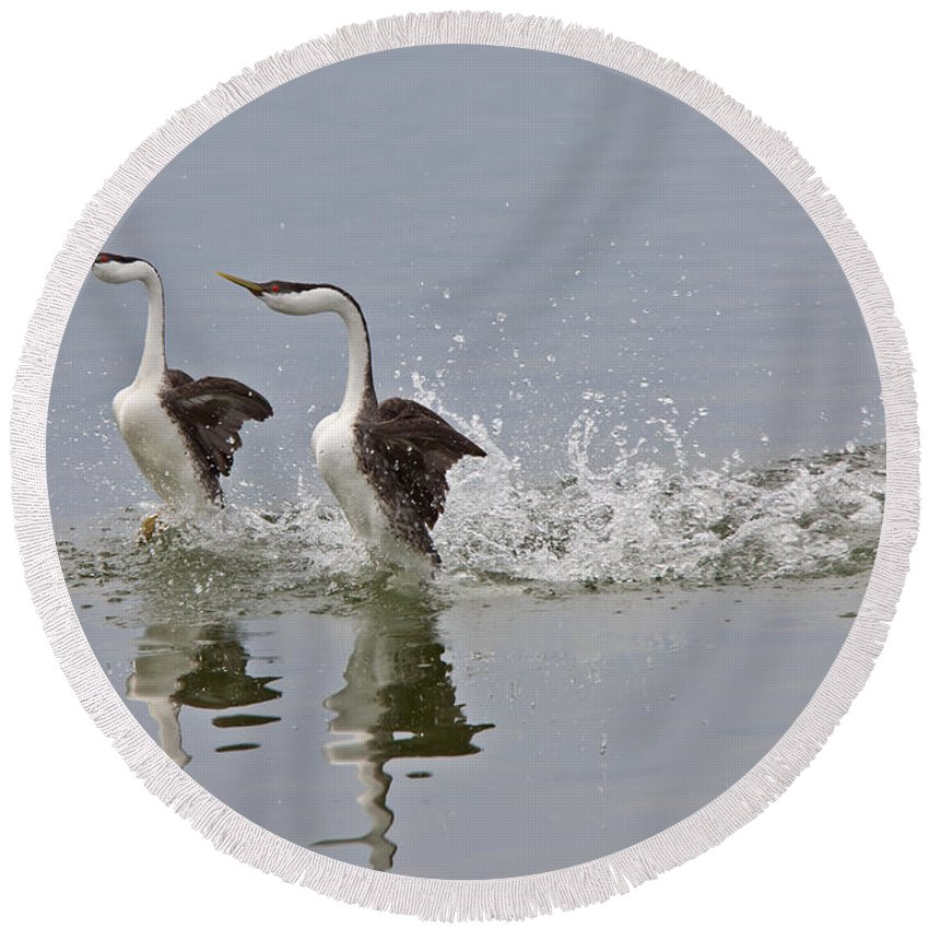 Grebe Round Beach Towel featuring the digital art Western Grebe On Lake by Mark Duffy
