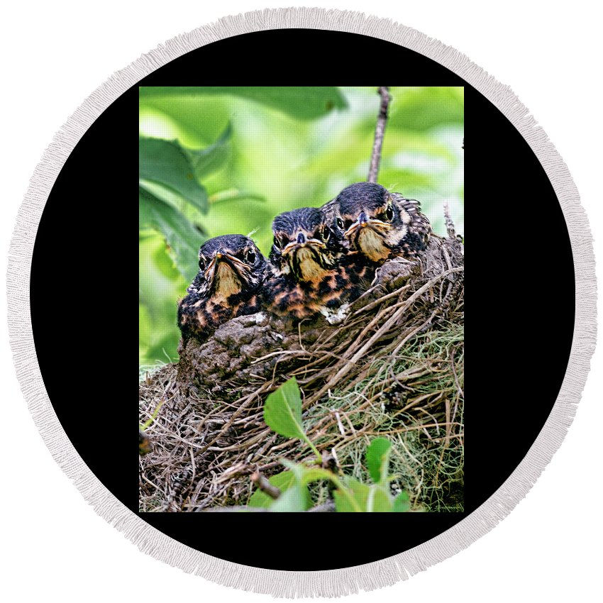 Three Baby Robin Red Breasts Round Beach Towel featuring the photograph What Are You Lookin At by Marty Saccone