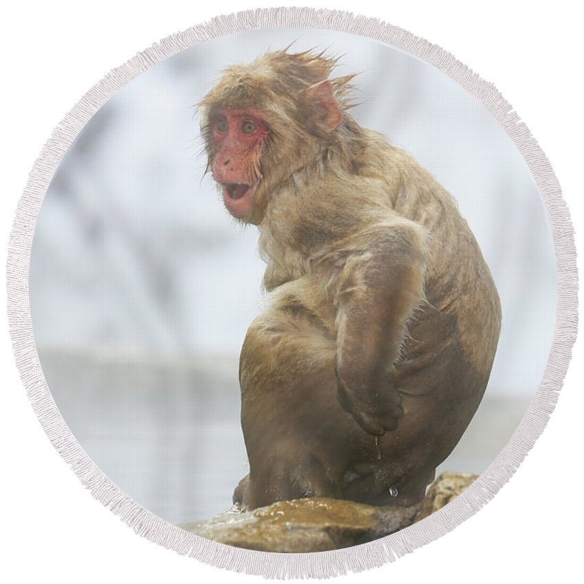 Snow Monkeys Round Beach Towel featuring the photograph What by Leigh Lofgren