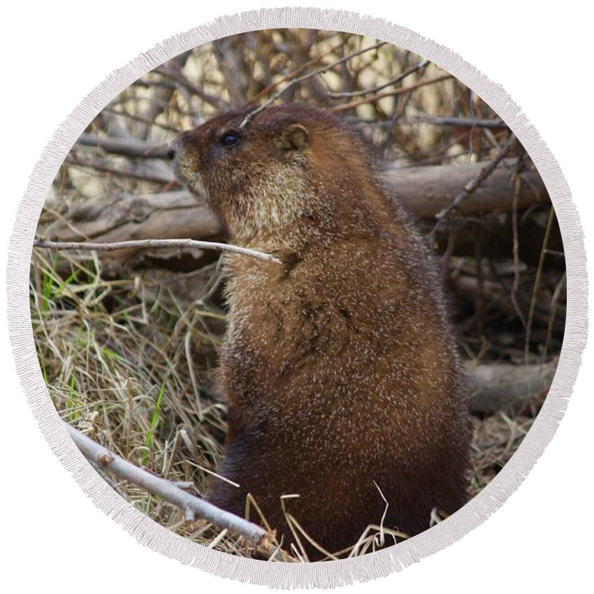 Marmot Round Beach Towel featuring the photograph Whistle Pig by Anne Marie LaSala