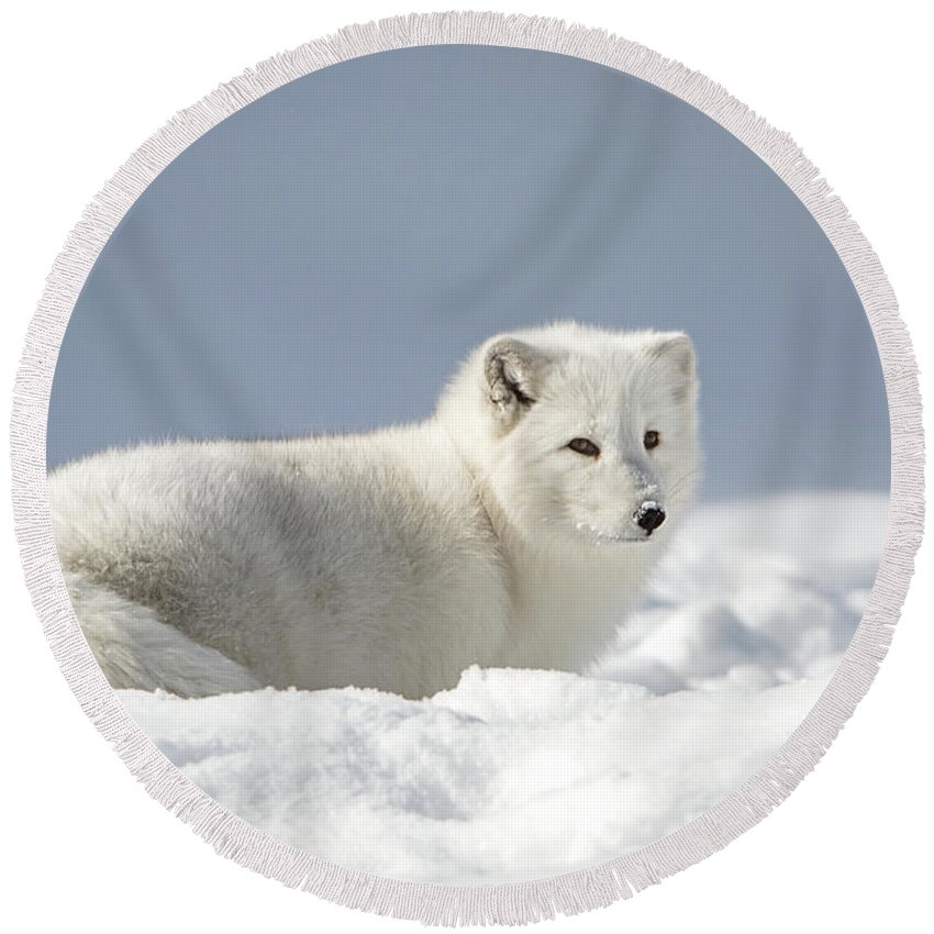 Arctic Fox Round Beach Towel featuring the photograph White Beauty by Jack Bell