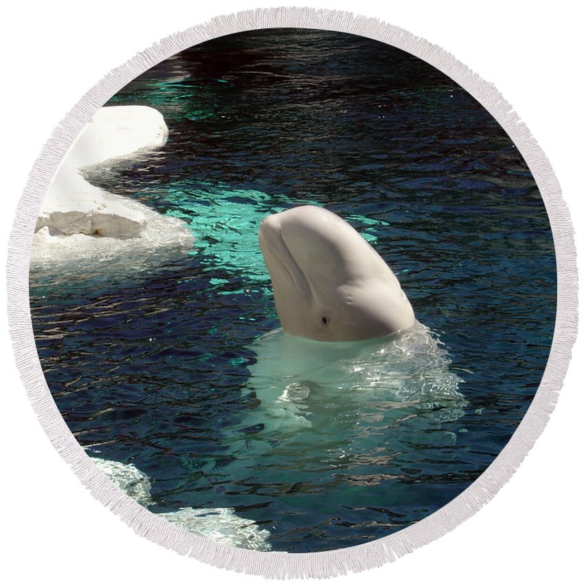 Whale Round Beach Towel featuring the photograph White Beluga Whale 3 by Angelina Vick