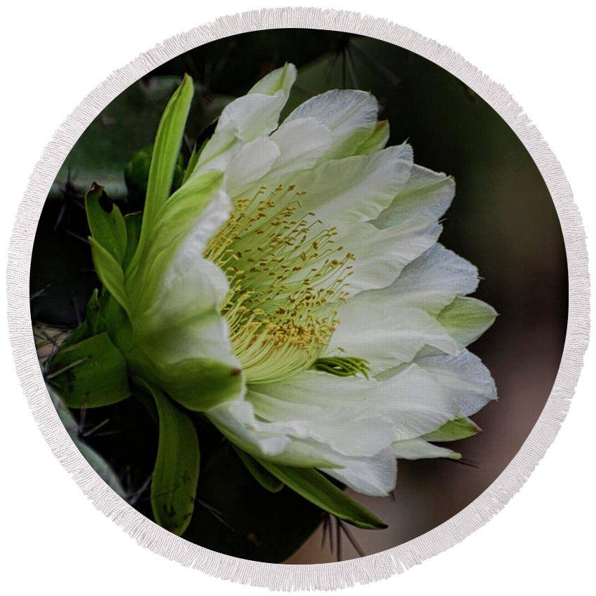 Echinopsis Round Beach Towel featuring the photograph White Cactus Flower by Saija Lehtonen