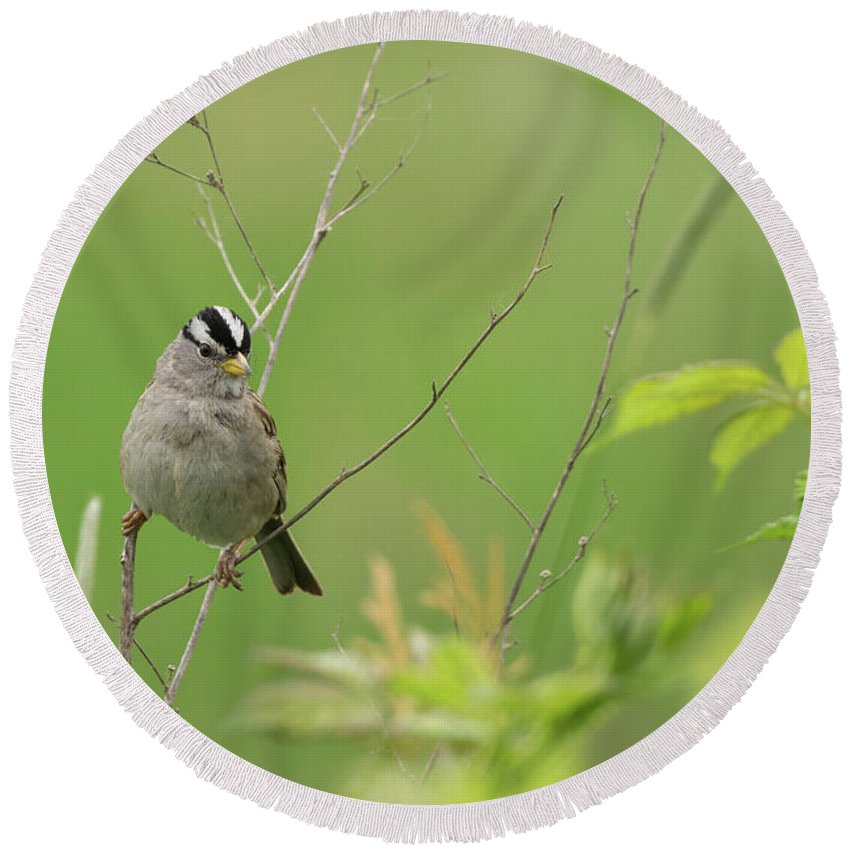 Bird Round Beach Towel featuring the photograph White Crown Sparrow by John Wood