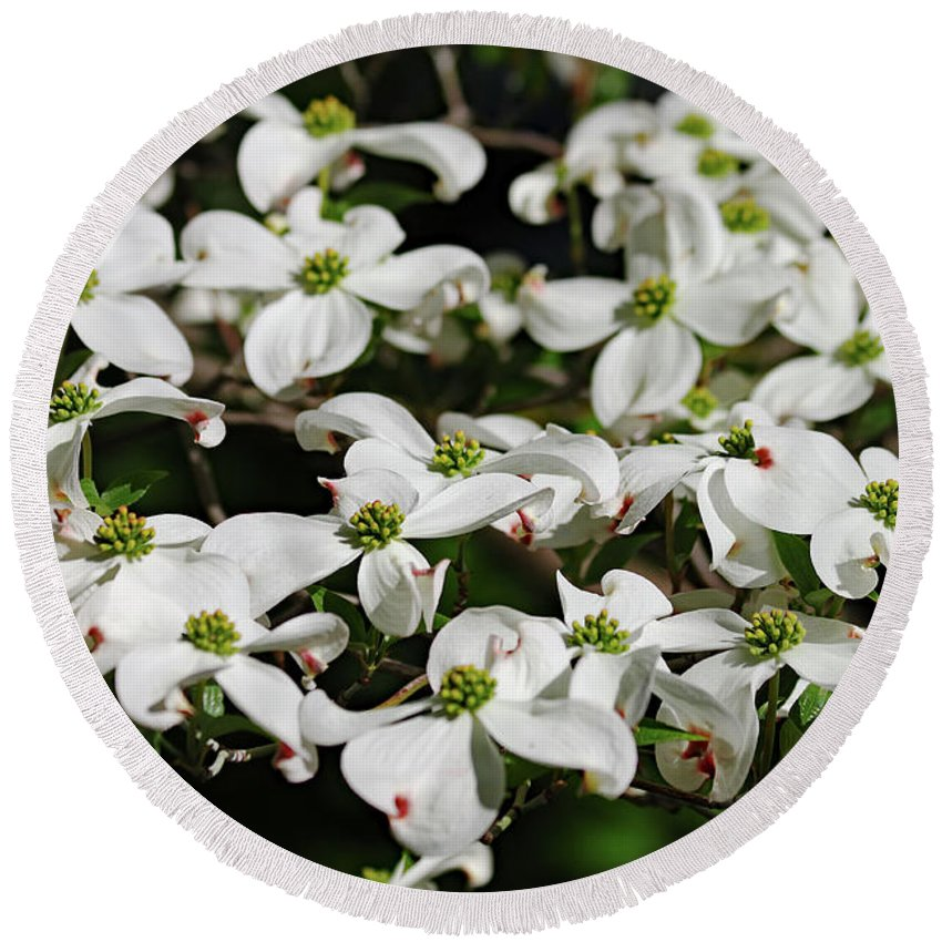 White Dogwood Flower Round Beach Towel featuring the photograph White Dogwood by Daniel Saviers