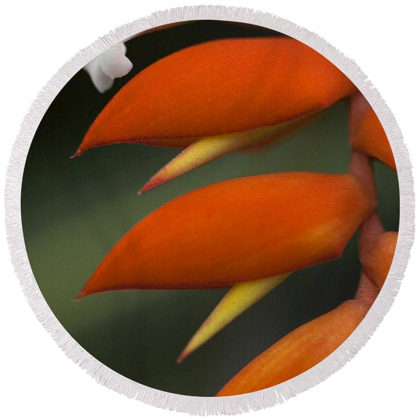 Heliconia Round Beach Towel featuring the photograph White Flower And Orange by Karen Ulvestad
