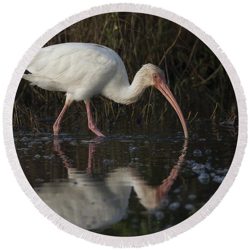 American Round Beach Towel featuring the photograph White Ibis Feeding In Morning Light by David Watkins