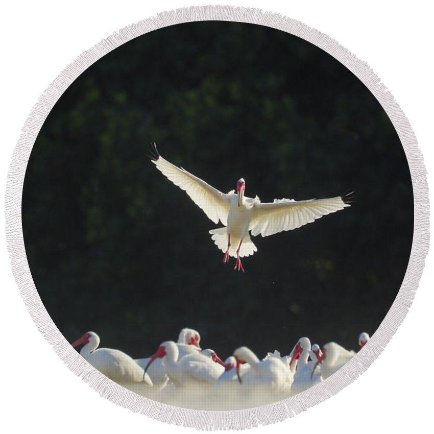 White Ibis Round Beach Towel featuring the photograph White Ibis In Flight Over Flock by Marie Read