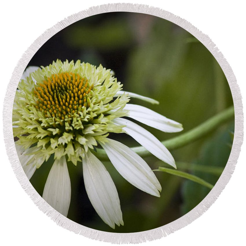 White Round Beach Towel featuring the photograph White Milkshake Coneflower by Teresa Mucha