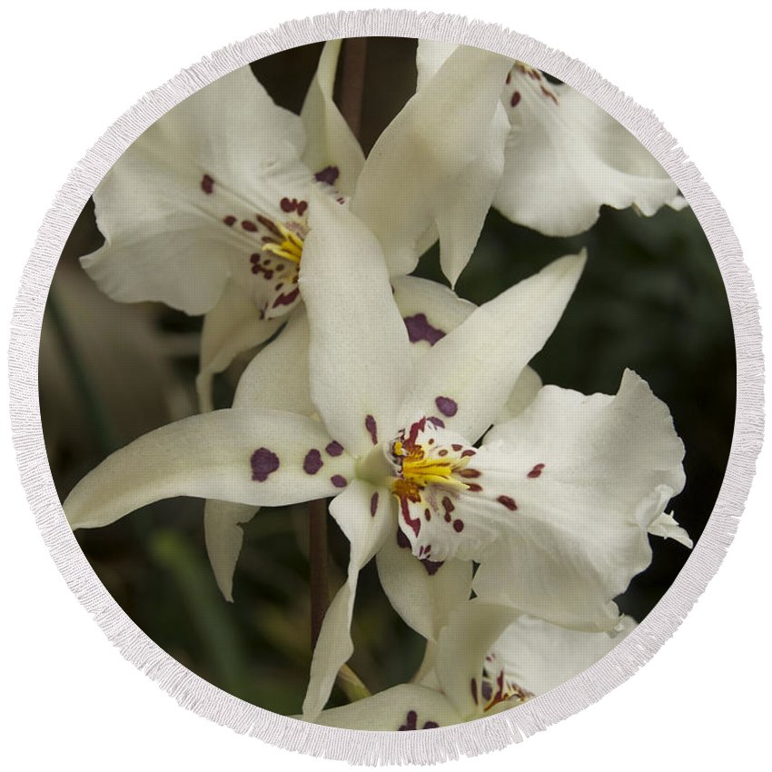White Round Beach Towel featuring the photograph White Orchids 2 by Michael Peychich
