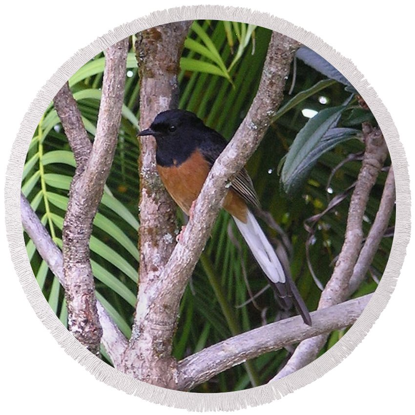 Black Birds Round Beach Towel featuring the photograph White Rumped Shama by Mary Deal